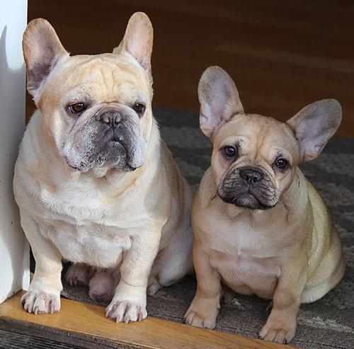 Ckc French Bulldog Breeders