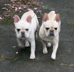 Tahoma Frenchies - Pictures of the Week