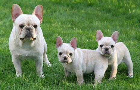 Tahoma French Bulldogs