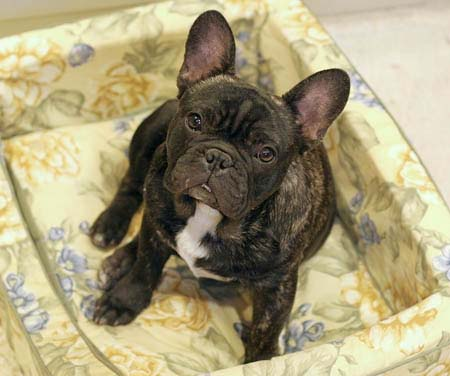 Tahoma Frenchies - Pictures